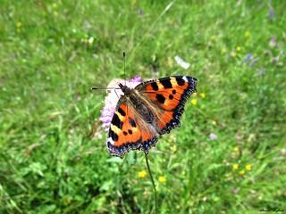 Butterfly 1715