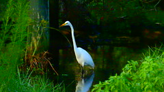 Great Egret (Jim Mullhaupt) Tags: greategret wader bird water pond lake swamp wildlife nature landscape background wallpaper outdoor bradenton florida manateecounty nikon coolpix p900 jimmullhaupt photo flickr geographic picture pictures camera snapshot photography nikoncoolpixp900 nikonp900 coolpixp900 egret