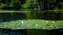 Lotus blossom at Stearns Pond (kuntheaprum) Tags: paddleboarding photography stearnspond lotus flower mushroom nixy nikon d80 50mm f18
