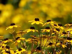 Schönes Wochenende❤Happy Weekend (BrigitteE1) Tags: blumen flowers yellow gelb 18082018 happyweekend schöneswochenende sonnenhut rudbeckia coneflower sommer summer