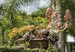 On A Coral Rock Wall (ACEZandEIGHTZ) Tags: cactus succulents nikon d3200 clay pot palm tree alittlebeauty coth5 coth sunrays5