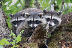 Mother and Kits (dennis_plank_nature_photography) Tags: avianphotography ridgefieldnwr birdphotography naturephotography raccoons ridgefield wa avian birds nature