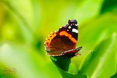 Butterfly (Jurek.P) Tags: butterflies butterfly motyle rusałkaadmirał redadmiral macro summer nature natura jurekp sonya77 insect