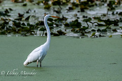Great Egret (mayekarulhas) Tags: great egret johnheinznaturereserve wildlife wild bird avian canon canon500mm canon1dxmark2 philadelphia tinicum pennsylvania