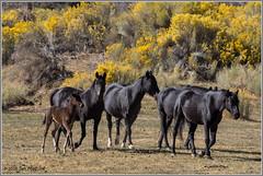 Wild Horses 3116 (maguire33@verizon.net) Tags: california oakcreekcanyon oakcreekhorse oakcreekwildhorse rabbitbrush tehachapimountainhorse feralhorse feralhorses herd horse wildhorse wildhorses tehachapi unitedstates us