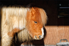 Hamish I (meniscuslens) Tags: horse trust charity rescue shetland pony skewbald mane stable aylesbury buckinghamshire princes risborough high wycombe