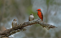 Listen children (justkim1106) Tags: flycatcher bird vermilionflycatcher texasbird texaswildlife nature bokeh naturebokeh animal beyondbokeh nikonnature nikon