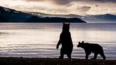Contemplating the dawn (paolo_barbarini) Tags: kamchatka kuril wildlife bears orsi landscape paesaggio backlight controluce water acqua lake sunrise nationalgeographic animalplanet