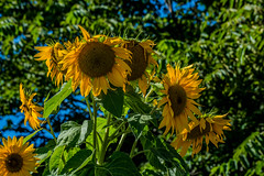 2018 - photo 244 of 365 - sunflowers in the vineyard (old_hippy1948) Tags: