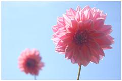 DSC_4562 (FMAG) Tags: 201809 dzialka kwiatki macro