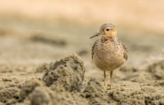 Posing Sandpiper (Rick Derevan) Tags: california morrobay morrostrand shorebird buffbreastedsandpiper tryngitessubruficollis