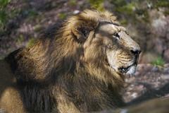 Profile of Radja lying down (Tambako the Jaguar) Tags: lion big wild cat male asiatic asian indian profile portrait face lying relaxing calm zürich zoo switzerland nikon d5
