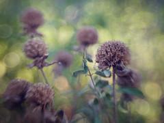 (Anne Worner) Tags: anneworner lensbaby sweet35 autumn bokeh dead fall manualfocus manualfocuslens monarda seedhead selectivefocus texture on1 overlay bend bendy blur composerpro nature f25