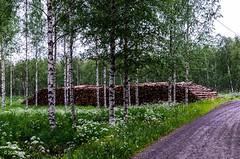 Kylatien koivupino (nousku) Tags: mmp suomi finland sysmä landscapes flowerstrees tamron
