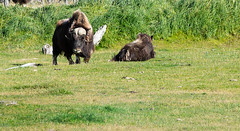 Musk Ox (Douger S) Tags: awcc alaska highway1 muskox nature wildlife