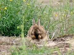 Bunny grooms itself ❤ (BrigitteE1) Tags: kaninchen rabbit cute snapshot bunny säugetier mammal animal blumen blumenwiese meadow flowermeadow green yellow groom groomitself sichputzen cutie adorable niedlich gorgeous sweet lovely beautiful sweetness süs