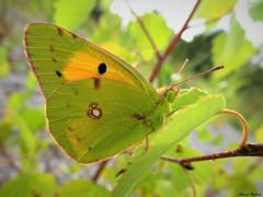 Butterfly 1727 (+1300000 views!) Tags: butterfly borboleta farfalla mariposa papillon schmetterling فراشة