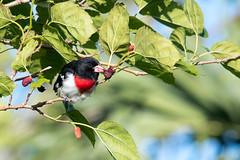 Berrylicious (Melissa James Photography) Tags: pheucticusludovicianus grosbeak birdwithfood bird birdintree leaves springmigration fortdesoto nikond500 300f4