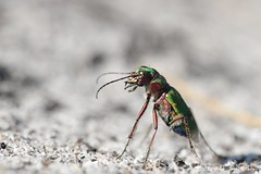 Tip-Toe Tiger Beetle (Cicindela campestris) (willjatkins) Tags: wildlife nature animal insect insects beetles beetle coleoptera tigerbeetle greentigerbeetle cicindela cicindelacampestris ukwildlife ukinsects ukbeetles ukcoleoptera britishwildlife britishinsects britishbeetles britishcoleoptera dorsetwildlife dorsetinsects dorsetbeetles heathlandwildlife heathlandinsects closeupwildlife closeup macro macrowildlife nikond610 nikon sigma105mm