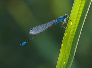 Blaue Federlibelle.