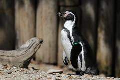 Humboldt-Pinguin (mux68-uh) Tags: zoo tierpark hellabrunn tierparkhellabrunn münchen munich pinguin humboldt humboldtpinguin