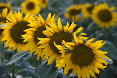 Quand tous les fleurons ont fleuris (Excalibur67) Tags: nikon d750 sigma contemporary globalvision 100400f563dgoshsmc paysage landscape nature flowers fleurs tournesol sunflower jaune yellow champs