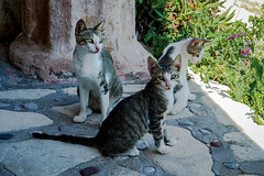 Three strays (KPPG) Tags: cats katzen greece griechenland 7dwf fauna animals tiere tierwelt strays streuner