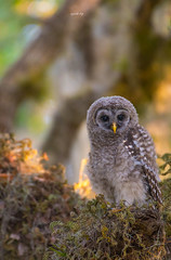 Barred owlet (agnish.dey) Tags: bird birding birdwatching birdsofprey bokeh owl owlet portrait perched tree nature naturallight naturephotograph nikon naturethroughthelens d500 animalplanet coth florida wildlife