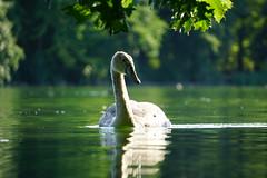 young swan (a n t j e) Tags: swan summer evening schwan