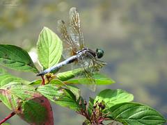 Blue Dasher IMG_0469 (Jennz World) Tags: ©jennifermlivick mountpleasantnaturepark mountpleasant ontario canada dragonfly damselfly caterpillar butterfly