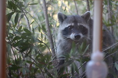 Trash Panda (kchrisne) Tags: raccoon portrait animal trash panda bandit