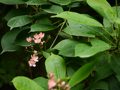 Jatropha integerrima 'Compacta Pink'