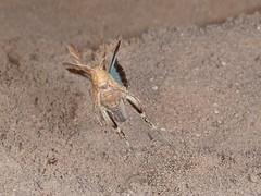 Rolf_Nagel-Fl-8424-Oedipoda_caerulescens (Insektenflug) Tags: oedipodacaerulescens bluewingedgrasshopper blauflügeligeödlandschrecke blåvingetørkengræshoppe oedipoda caerulescens bluewinged grasshopper blauflügelige ödlandschrecke blåvinget ørkengræshoppe heuschrecke saltatoria græshoppe insekt insects im flying fliegend airborne deutschland fliegen flug flight inflight germany insectflight insectinflight insekten insektenflug insect imflug minoltaerokkor75mm erokkor minolta rokkor 75mm envole en vole