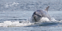 Bottlenose dolphins of the Moray Firth (David Jefferson Photo) Tags: bottlenose dolphin dolphins whales cetaceans fin fluke tail breach leap breaching moray forth chanonry point fortrose