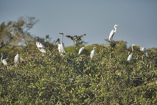 Great Egret (Ardea alba) and Wood Stork (Mycteria americana) 1 071718