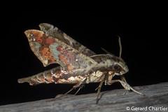 Eupanacra mydon (GeeC) Tags: animalia arthropoda bombycoidea butterfliesmoths cambodia eupanacra eupanacramydon hawkmoths insecta kohkongprovince lepidoptera macroglossinae nature sphingidae tatai