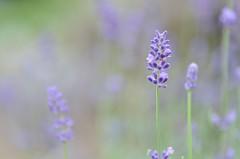 lavender (snowshoe hare*) Tags: dsc0240 flowers lavender herb kyotobotanicalgardens lavande lavandula