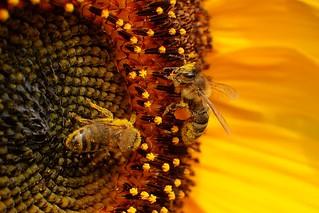 The sunflower....a