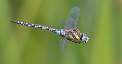 It's a lot less bovver when they hover... (KHR Images) Tags: migranthawker aeshnamixta mature male dragonfly insect flying inflight hovering fendraytonlakes cambridgeshire rspb wildlife nature nikon d500 kevinrobson khrimages