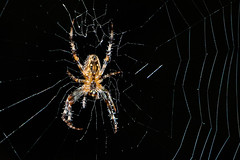 Waiting for Supper (Conrad Kuiper) Tags: web 7dmkii spider canon