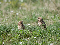 Burrowing Owls (Boulder Flying Circus Birders) Tags: burrowingowl athenecunicularia burrowingowlcolorado burrowingowlboulder wildbirdboulder wildbirdcolorado boulderflyingcircusbirders freebirdwalk saturdaymorningbirders kevinrutherford fernlakephotography