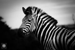 See?Brah! (MF-otografie) Tags: grã¼n southafrica addoelephantpark zebra animals black white stripes closeup focus