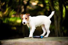 On Stage (moaan) Tags: kobe hyogo japan jp dog jackrussellterrier kinoko puppy memories outdoors woods forest focusonforeground selectivefocus depthoffield bokeh swirlingbokeh bokehphotography utata 2018