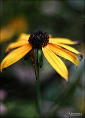Garden Flowers... (angelakanner) Tags: canon70d 50mmlens closeup bokeh garden longisland summer