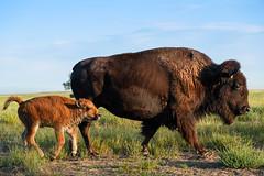 Bison Love (Bernie Duhamel) Tags: americanbison bison frontrange greatphotographers teamsony rockymountains colorado coloradowildlife wildlife rockymountianarsenalnationalwildliferefuge commercecity bernie duhamel sonya7riii sonyfe100400mm