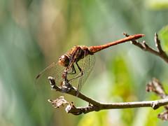 Dragonfly (martin_swatton) Tags: dragonfly insect bug minibeast dragon rooksbury park wickham hampshire uk olympus omd em1 mkii mzuiko 300 f4 pro