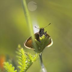 Dickkopffalter im Licht... (angelika.kart) Tags: natur insekten falter schmetterling dickkopffalter licht