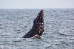 Humpback Whale 1 (Brian Knott Photography) Tags: whale humpback humpbackwhale wildlife sealife ocean sea pacific whalewatching sunset sunrise water breach chinslap fin dorsal newportbeach huntingtonbeach california migration