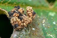 Bird dung crab spider (Phrynarachne rugosa) - DSC_2577 (nickybay) Tags: africa madagascar macro andasibe mitsinjo thomisidae phrynarachne bird dung crab spider rugosa