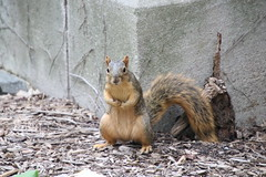 88/365/3740 (September 7, 2018) - Squirrels in Ann Arbor at the University of Michigan on September 7th, 2018 (cseeman) Tags: gobluesquirrels squirrels annarbor michigan animal campus universityofmichigan umsquirrels09072018 summer eating peanut septemberumsquirrel 2018project365coreys yearelevenproject365coreys project365 p365cs092018 356project2018 foxsquirrels easternfoxsquirrels michiganfoxsquirrels universityofmichiganfoxsquirrels